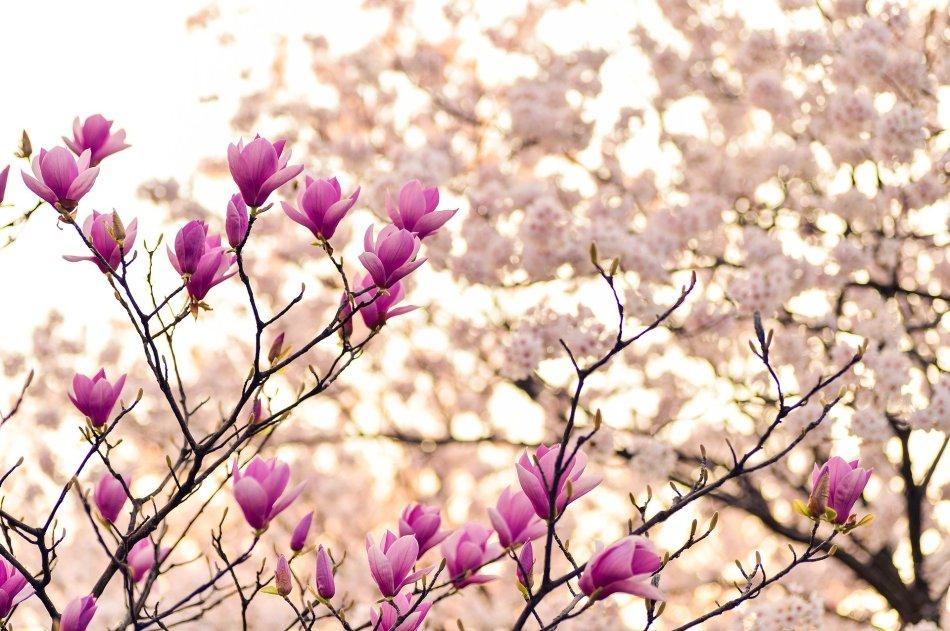 magnolia-2218788_1920